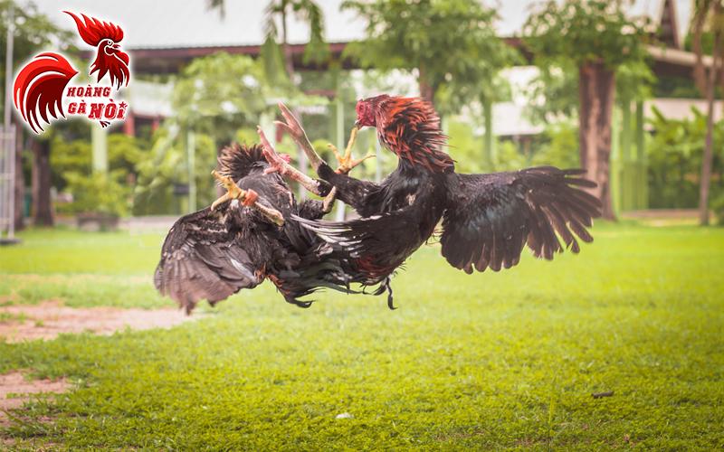 ( Gà nòi, gà đá, gà cựa, gà chọi ) đều chung quy là 1, thịt của chúng rất dai và ngon