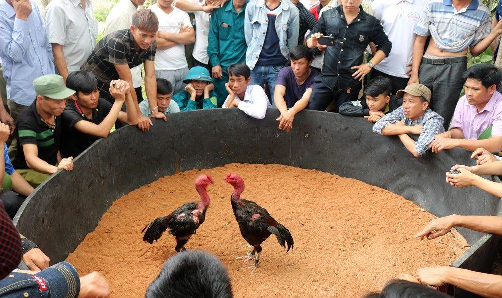Buồng gà, chiến trường đá gà