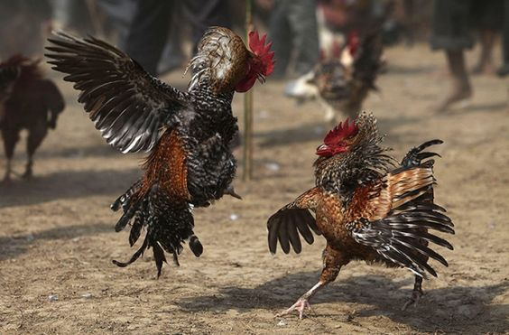 các loại gà chọi
